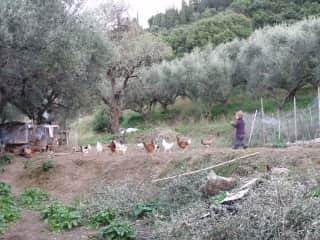 Nine feeding poultry