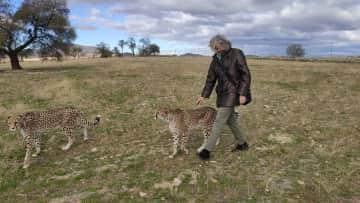 Tame cheetahs from a friend