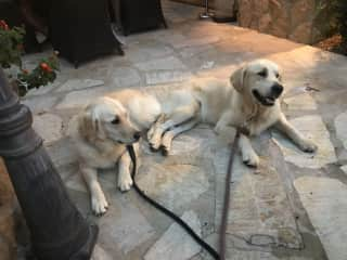 Go to restaurants with my lovely golden retrivers
