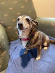 Gracie is a Chi mix with possessive tendencies but no aggression.