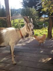 Peanut, the mama goat and a hen, at a house I lived at in 2015/16