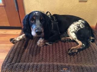 Our 2020 puppy, Biscuit! We got too lonely not traveling and caring for others pets this year! She is a delightful Tri-colored Roan Springer Spaniel.