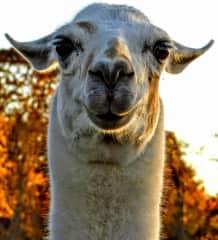 Happy llama ready for dinner!