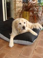 Retriever/Labrador Casper at aged 12