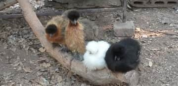 Bantam Silkies, a chicken breed kept as pets. They come in many colours.