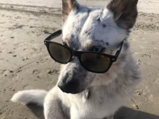 Bianca: 10-yr.-old cattle dog (Queensland Healer)