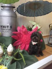 My sweet companion, Marley.  Marley is ten years old and a Shepoo.  He went to work with me one day, sat in my store window, and enjoyed people watching.  Sadly Marley passed April, 2019, liver disease.   I miss his unconditional love & companionship