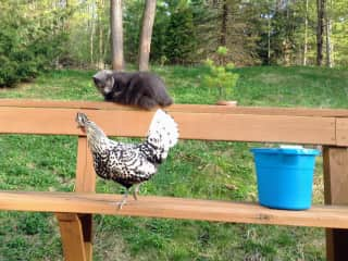 Chazz the cat and Killer Queen the chicken.