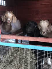 Three of the goats in Kerrville, TX