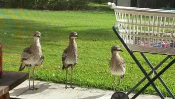 Some curlews that I have raised as orphans and released on my property.