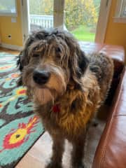 Koko is a big furry bear of a dog!