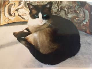 Sammy, my Snowshoe Siamese, who loved to go on road trips.