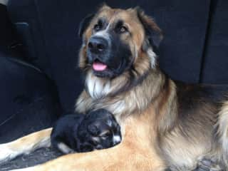 Cairnie being a good dad with one of the pups