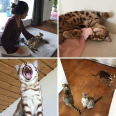 We recently watched three beautiful Bengal cats. They were lovely and we'd love to watch Bengals again!