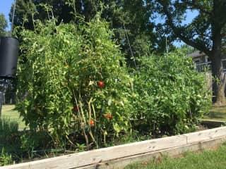 Prettiest Tomatoes in TOWN!