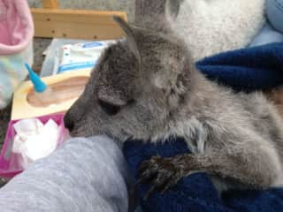 Mindy Lou ... the rescue roo ... Australia