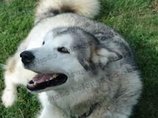 Lady, my beautiful passed malamute
