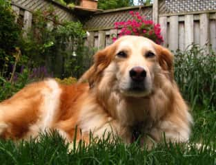 'Betty' a golden retriever/border collie...looking rather content with her brushing