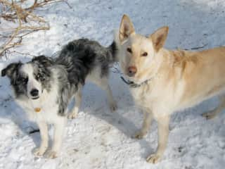 Here is Perry when he was younger, with his sister Nula (German shepherd). Nula passed in 2016 at age 12, and we miss her greatly.