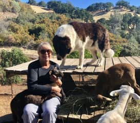 7/19 Off the grid in Pope Valley, CA with sheep, chickens, cats and two Armenian Gamprs, livestock protecting dogs.