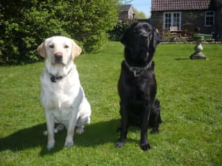 Digby, yellow dog and Archie, black