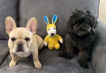 Easter photos during a pet sit of Apollo the French Bulldog. Romeo, my pup was welcomed on this sit.