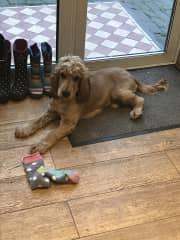 Bailey the sock stealer!