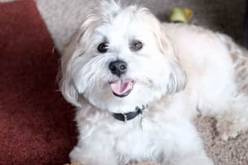 Buddy, Havanese with lots of personality