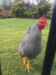We've had many chickens and enjoy taking care of them!