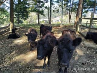 Black cows... farm pets.