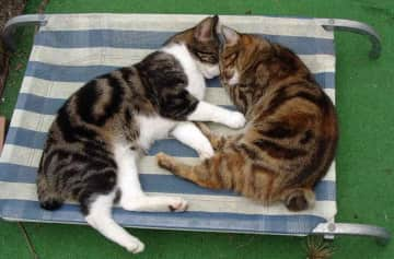 my beautiful manx cats who always slept together