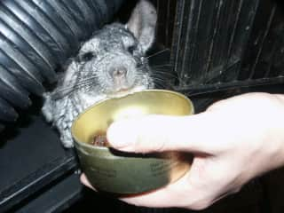 Raisins: the way to our chinchillas' hearts
