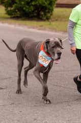 D'Beau, Liz's former Great Dane, running a 5K.  Big dogs take special care.  I trained him as a pup and very comfortable with this breed.