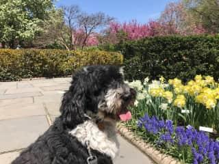 Vasco enjoying the tulips on 5th Ave in NYC