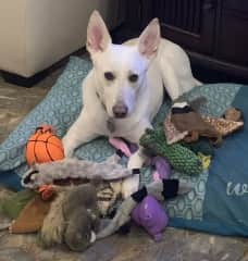 I will be your best friend & share my toys with you! I like to cuddle and if you let me, I may even sleep at the foot of the bed (mom & dad tell me off & I get down)I am allowed at the foot of the bed before bed & in the morning when it's time to get up