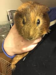 """I have two nearly identical guinea pigs that someone bought for their 3-year old and then decided they no longer wanted because they """"stink."""" I love these guys and they have found a forever home with me. They're very easy to have as housemates."""