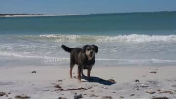 Abby, our wonder girl. Taking a stroll with us on Honeymoon Island in Dunedin, FL.