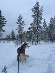 Arctic dogwalking. (November 2020 - January 2021)