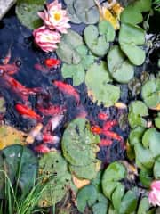 Our pond fish