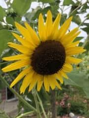 Sunflower fields nearby