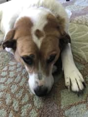 Sassy,  Grampa's beloved Florida rescue pup