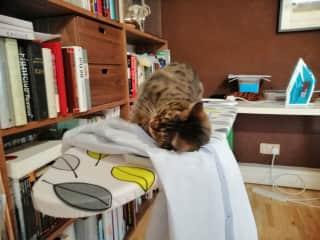 Marimo loves freshly ironed shirts.