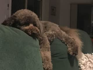 Our sloth/mountain goat/poodle Elvis