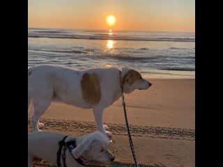 Meet Hoss and Little Joe! Sunrise walks every morning while pet/house sit at Carova Beach!