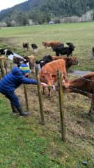 My son feeding the cows