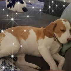 B the Beagle