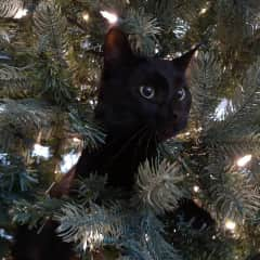 Nox in the Christmas tree