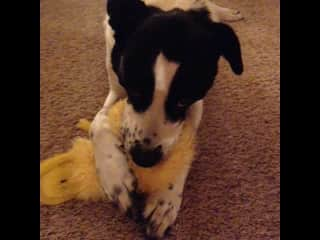Kokopelli loves to gently chew her menagerie of stuffed toys. She is a border  collie mix and was a rescued as a puppy  from a flood in Kansas in 2009.