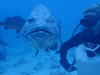 scuba diving along side potato cods (Australia)