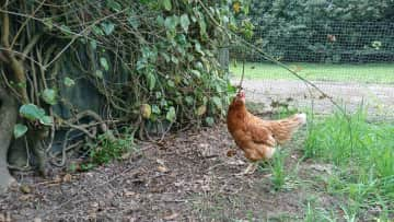 one of 3 chickens